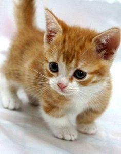 Precious Munchkin Kitten