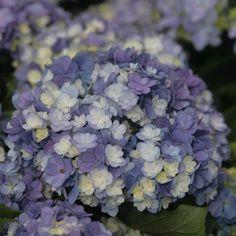 Hortensia - Hydrangea macro Tea Time Together pour potée sous pommier Cet hortensia au port naturellement compact, d'allure très soignée, est parfait pour les potées. Il se couvre de gros pompons très denses, peuplés de fleurs bicolores bleues à bordure blanche, virant peu peu au blanc, pour un effet à la fois précieux et éblouissant. Sa végétation bien ramifiée disparait sous un beau feuillage vert sombre. Floraison bleu et blanc ou rose et blanc