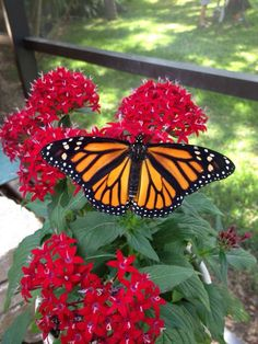 Monarch (female) on red pentas