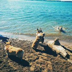 Look at all of 'em. | There Was A Corgi Beach Party In Toronto And It Was The Cutest Goddamn Thing