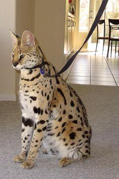 Savannah cat... incredible beauty!