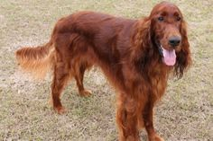 Irish Setter Breed Information #IrishSetter http://www.pindoggy.com/pin/7228/