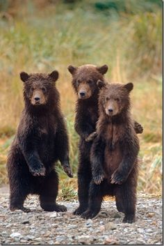 Three grizzly bear cubs stand on their hind legs while waiting for their mother at Katmai National Park