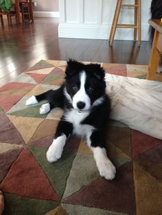 "Handsome devil! Border Collie puppy love. Hob Nob ""Tekoa,"" bred by Janice…"