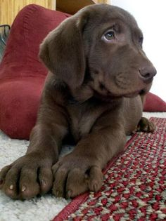 So sweet!! chocolate lab puppy