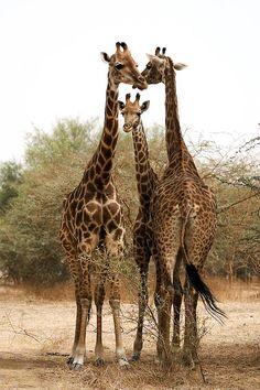 """Giraffe family: """"What shall we order for dinner? Not pizza again! It tasted like cardboard! Giraffe Family, Cute Giraffe, Giraffe Pictures, Animal Pictures, Nature Animals, Animals And Pets, Beautiful Creatures, Animals Beautiful, Cute Baby Animals"""