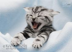 Tired Britisch Kurzhaar Kitten