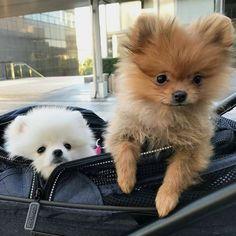T-shirt, legging, hoodie for Pomeranian lovers. Order here: https://www.sunfrog.com/JohnyD/pompom-shirts #Pomeranian