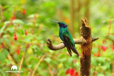 Hummingbird in Colombia    Colibrí en colombia Animals, Travel Tours, Adventure Travel, Sailing Ships, Tourism, Colombia, Pictures, Animales, Animaux