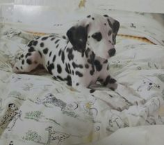 Dalmatian puppy from ad
