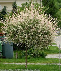 Wierzba skupiona (całolistna) Hakuro- nishiki (SAlix integra Hakuro-nishiki) stanowisko słoneczne Garden Trees, Plants, Garden, Salix, Botanical Gardens, Front Garden, City Garden, Outdoor Plants, Garden Planning