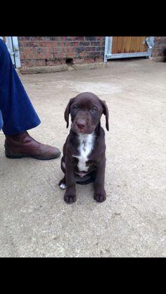 Dalmador puppy #labrador #Dalmatian #dalmador #cross #puppy