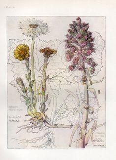 Colt s Foot- Wild Flower Botanical Print by Isabel Adams - Antique Print