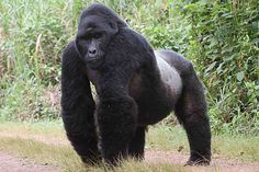 Unlocking The Genes of Mountain Gorillas Could Help Fight Extinction