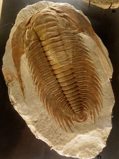 a large Cambrian trilobite (Acadoparadoxides mureroensis) discovered in Morocco