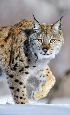Eurasian Lynx by Jasper Doest Billy