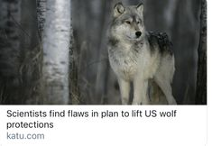 Scientists find flaws in plan to lift US wolf protections In Plan, How To Plan, Endangered Species, Scientists, Wolves, Husky, Flaws, Environment, Science