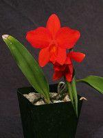 Sophrolaelia Red Jewel - seedlings
