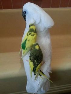 Cockatoo and Parakeet friends