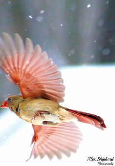 Female cardinal in flight - photo#16