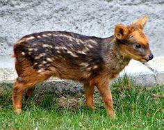 hablaremos sobre el animalito más pequeño de la familia cervidae. A continuación desarrollaremos la información sobre el pudú, una especie sudamericana, que habita en la cordillera de los Andes.