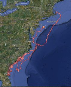 16-foot Great White shark tracked along the East Coast: Chincotague, Assateague, Ocean City, Long Island, Cape Cod
