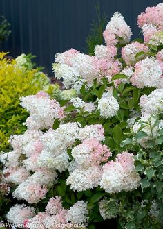 'Little Lamb' - Hardy Hydrangea - Hydrangea paniculata - part sun to sun; up to 6ft; hardy; white to pink; easy maintenance; blooms on new wood