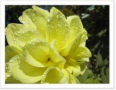 dahlia-yellow-water-drops-positive-energy.jpg (JPEG Image, 667×515 pixels)