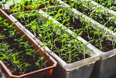 Tomato Seedlings, Window Sill, Home And Garden, Tej, Plants, Outdoor, Gardening, Concept, Illustration