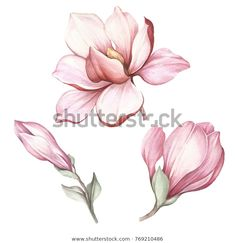Royalty-Free Images Photos Picture Illustration Vectors Music - Set of blooming magnolia. Art Floral, Botanical Art, Botanical Illustration, Watercolor Illustration, Flor Magnolia, Magnolia Flower, Watercolor Flowers, Watercolor Paintings, Plant Drawing
