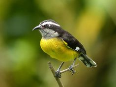 """annkelliott posted a photo:  """"The bananaquit (Coereba flaveola) is a species of passerine bird of uncertain relation. It is tentatively placed in the tanager family, but classified as incertae sedis by other authorities such as the American Ornithologists' Union. Its classification is debated, and it is often placed in its own family: Coerebidae. It has recently been suggested the bananaquit should be split into three species, but this has yet to receive widespread recognition. This small…"""