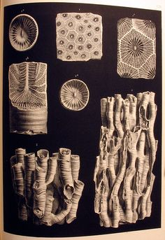 Milne-Edwards and Haime, 1852, Plate XXXIX. Rugose corals from the Mountain Limestone. Paleontological Illustration
