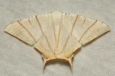 Geometrid Swallowtail Moth (Ourapteryx clara, Ennominae) | Flickr - Photo Sharing!
