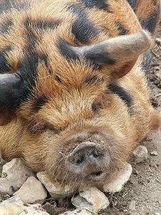 Kunekune pig - Google Search