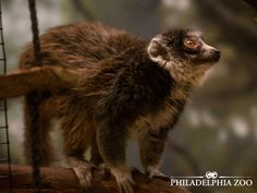 Mongoose lemurs are extremely agile, capable of leaping several yards to cross from one tree to another.  This moment was captured by Camera Club member Jennifer Vatza.