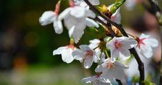 Sakura Ünnep 2019. Virágzó japán cseresznyefák az ELTE Füvészkertben World Trade Center, Japan, Plants, Anime, Japanese Dishes, Anime Shows, Plant, Anime Music, Animation