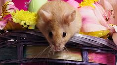hamster : Wallpaper Collection