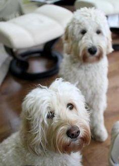 Labradoodle Dog Info