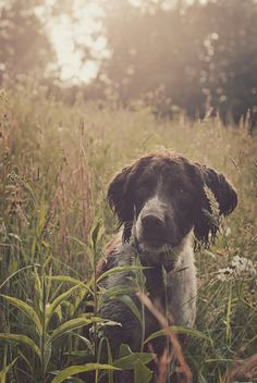 Art english springer spaniel a-puppy-in-a-basket Love My Dog, Chien Springer, English Springer Spaniel, Hunting Dogs, Dog Photography, Mans Best Friend, Dog Life, Farm Life, Beautiful Creatures
