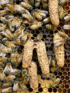 Some exceptionally large swarm cells from a strong colony that has been enjoying an abundance of forage. The queen, shortly before she is ready to emerge as an adult, emits a pheromonal signal for the workers to remove the cell wax from the tip of her silk cocoon (cell at left).