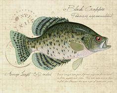 BLACK CRAPPIE The illustration used in this print was taken from my original acrylic illustration for my book Freshwater Fish of the