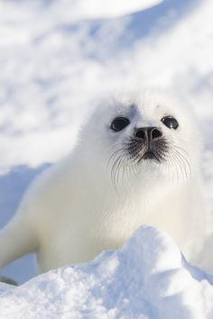 This beautiful baby seal may be of thousands each . - - Marcos - This beautiful baby seal may be of thousands each . - This beautiful baby seal may be of thousands each . The Animals, Cute Baby Animals, Funny Animals, Animals Planet, Cute Creatures, Beautiful Creatures, Animals Beautiful, Foca Animal, Cute Seals