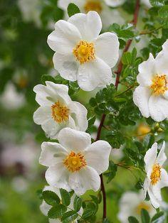 Wild Rose: Rosa spinosissima altaica,