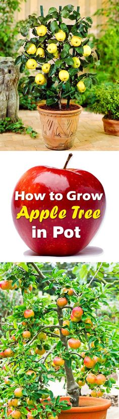 Indoor Container Gardening Learn how to grow an apple tree in container in this article. - Learn how to grow an apple tree in container in this article. Growing apple trees in pots require some care and maintenance that is given below. Growing Apple Trees, Growing Plants, Growing Vegetables, Growing Seeds, Growing Tree, Growing Flowers, Hydroponic Gardening, Hydroponics, Gardening Tips