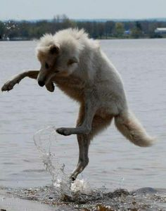 Jumping Wolf--Peter Souza Photo