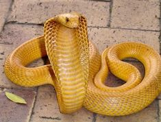 Cape Cobra ( Naja Nivea) one of the  most dangerous  species in Africa.