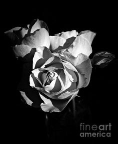 Last Roses Of Summer Bw Photograph by Chalet Roome-Rigdon - Last Roses Of Summer Bw Fine Art Prints and Posters for Sale