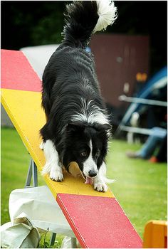 Border Collie agility seen on a seesaw. Keep them busy! #dogs