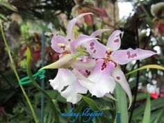 FASHION CREATIONS: Bllra Tropic Lily Orchid