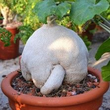 Пиренаканта (Pyrenacantha malvifolia)